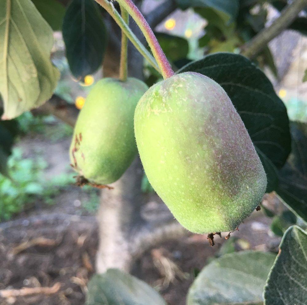 Anna Apple - Wild Craft Oils - Hydrosol - Encinitas, Ca.