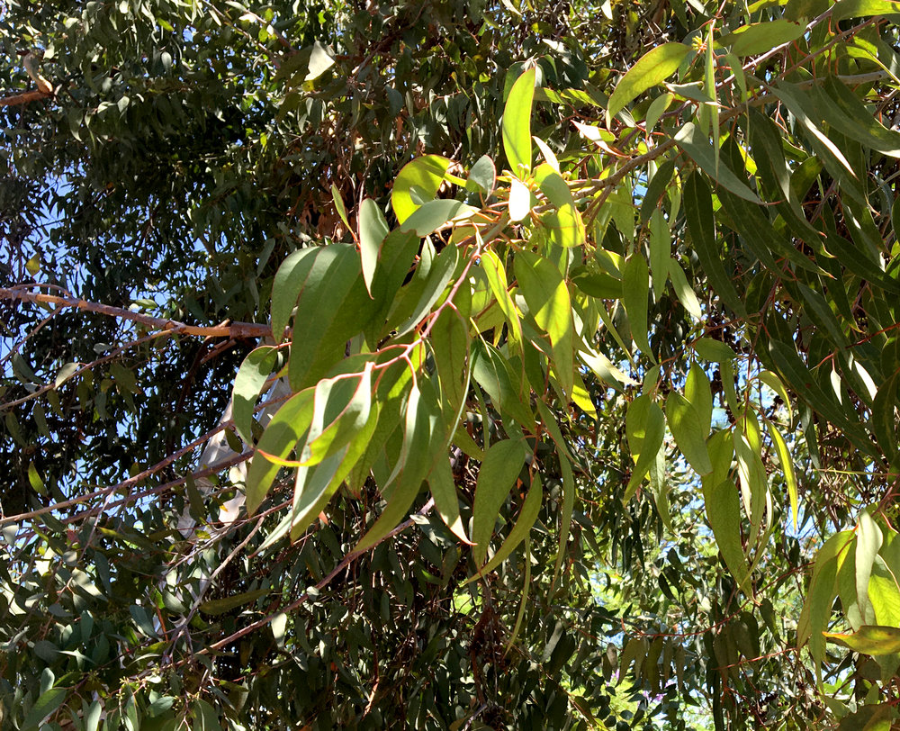 Eucalyptus - Essential Oil - Wild Craft Oils - Encinitas