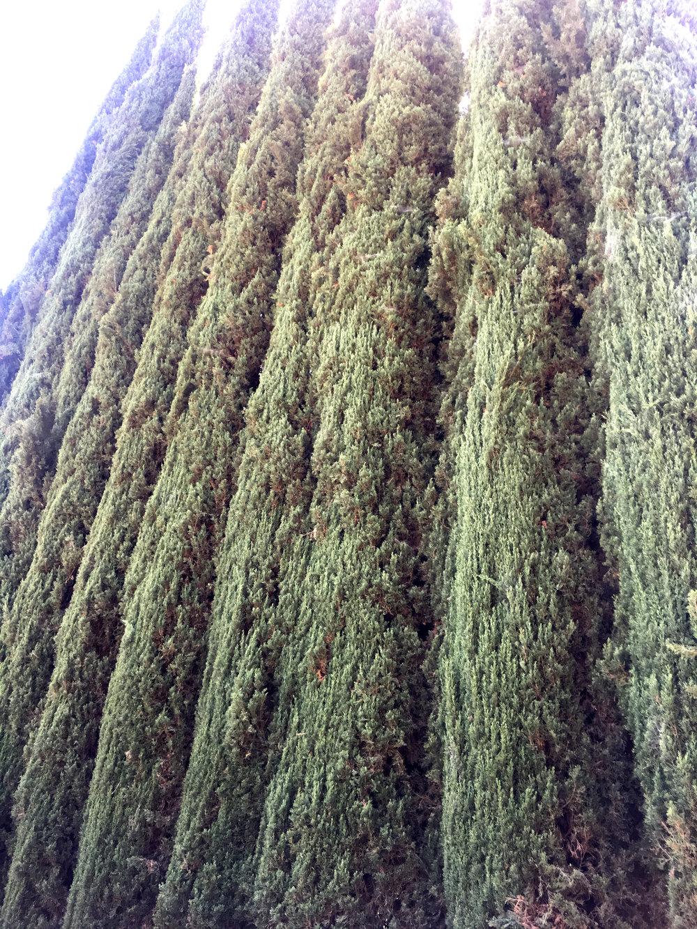 Cypress - Hydrosol - After Shave - Encintas, Ca. - Wild Craft Oils