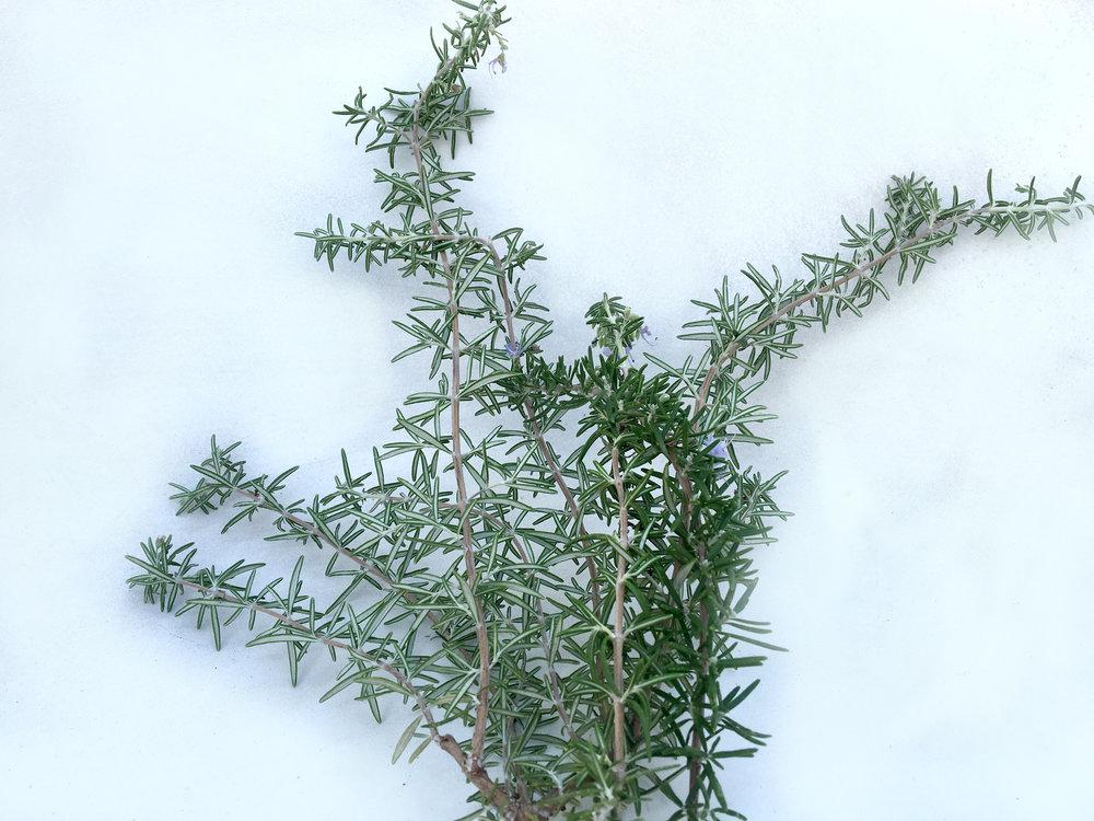 Rosemary Hydrosol - Wild Craft Oils - Encinitas, Ca.
