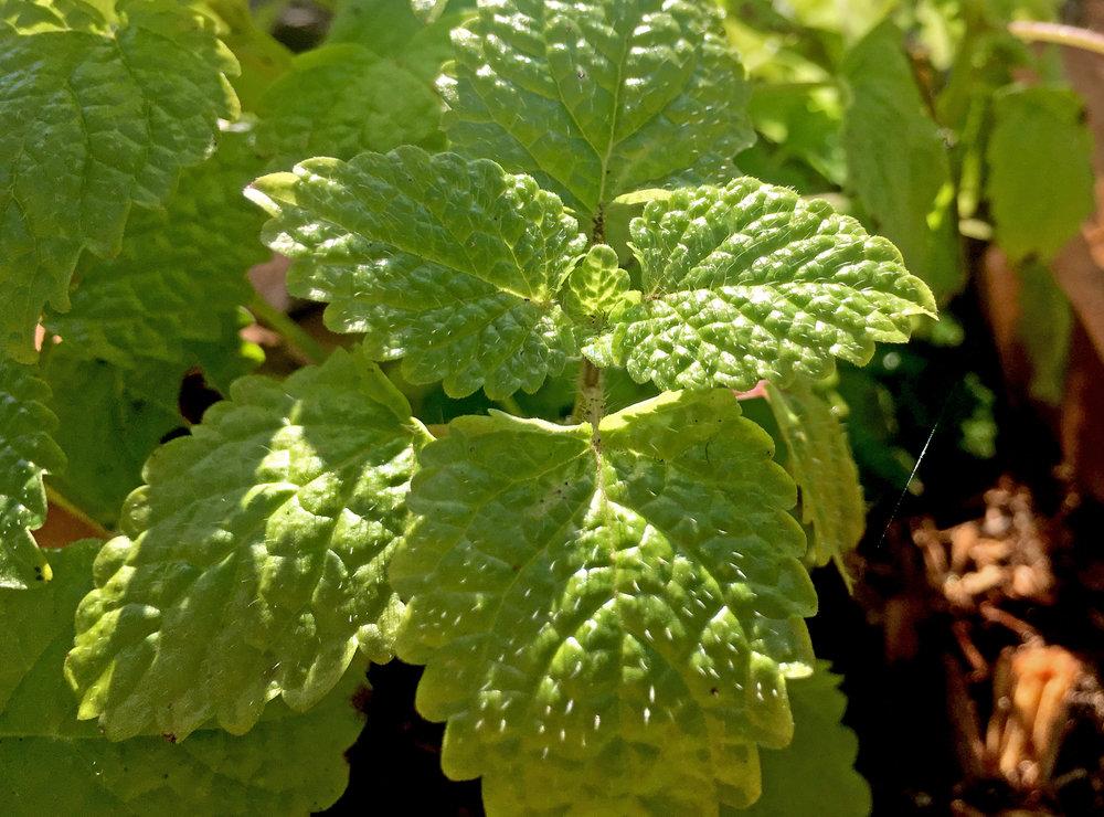 Lemon Balm Hydrosol - Wild Craft Oils - Encinitas, Ca.