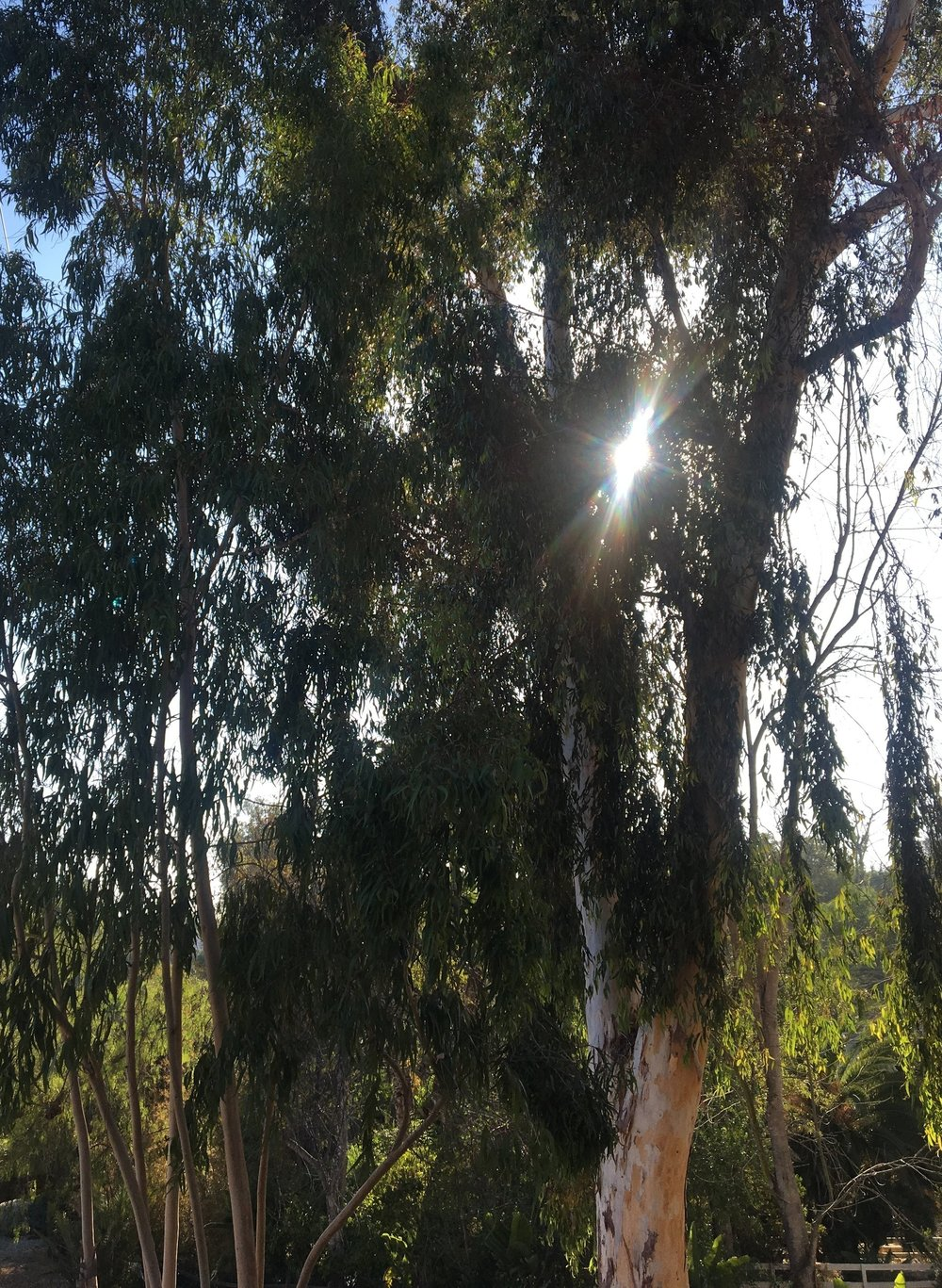 Eucalyptus Hydrosol   Wild Craft Oils - Encinitas, Ca.