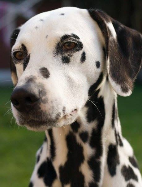 Cork Flower Studio loves dogs, and really misses our gorgeous girl India...the spottiest cutest dalmation there ever was.
