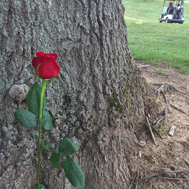Happy Father's Day, Dad. (The golf cart in the background is not an accident) #2017project #photooftheday #fathersday #memorial #rose #golf #golfcourse #livingmemorial #fore