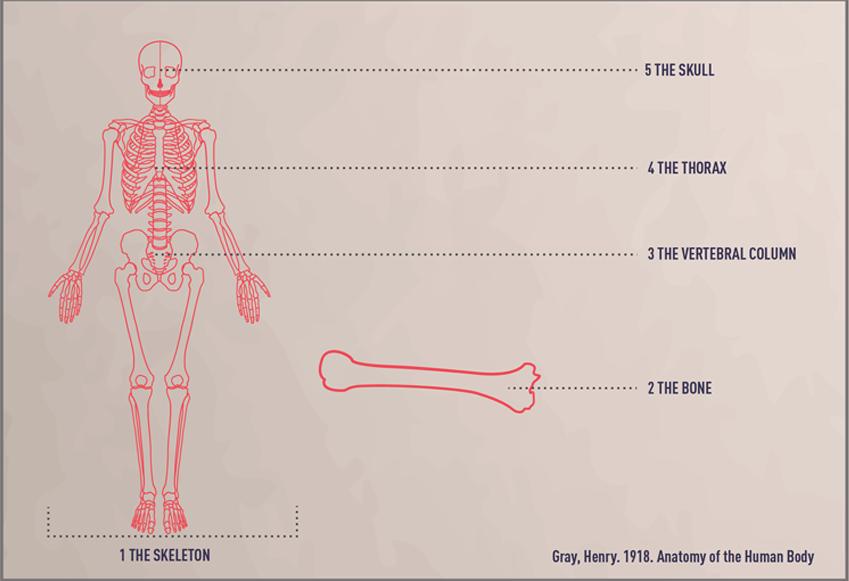Emmy de Leon Skeletal Bone Infographics
