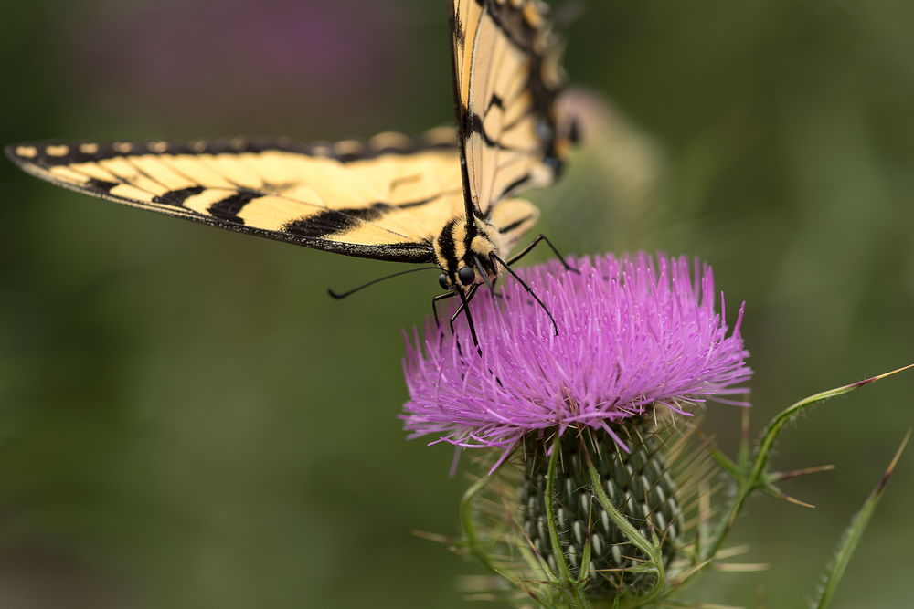 Butterfly & Thistle - Cottrell & Co. - CC1_7926.png