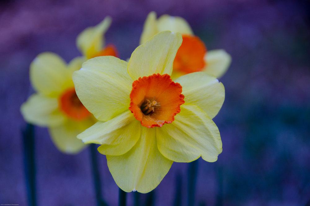 Smith-Gilbert Daffodils