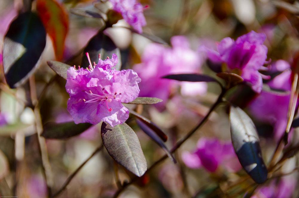 Late Spring Flowering Laurels