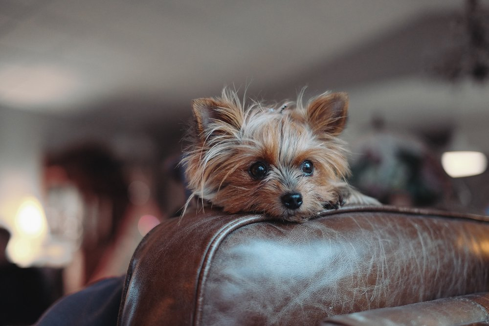 Lola, our resident Yorkie