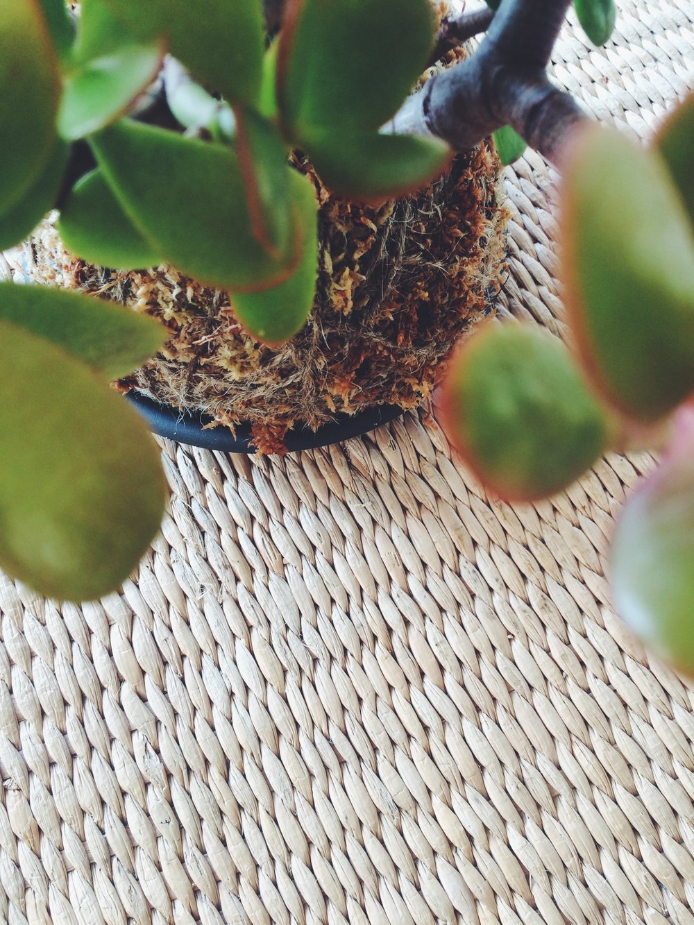 Jade Plant / Money Plant (Image: The Gypsy Collective)