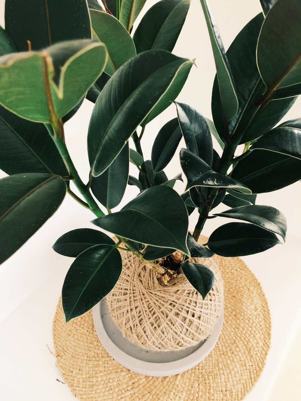 Rubber Plant (Image: The Gypsy Collective)