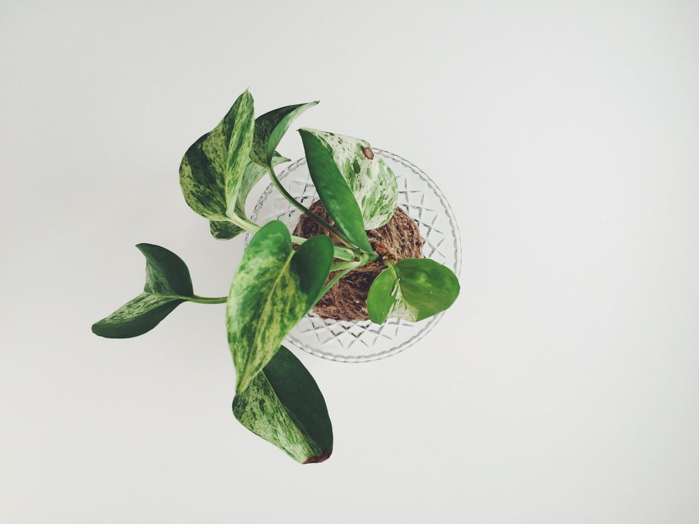 Small Vintage Kokedama (Pothos) in Glass Dish (Image: The Gypsy Collective)
