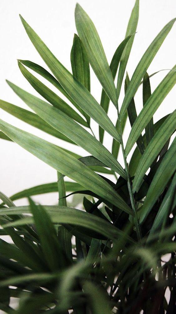 Parlour Palm (Image: Pinterest)