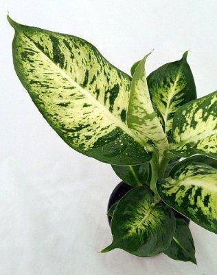 Dumb Cane / Leopard Lily (Image: Pinterest)