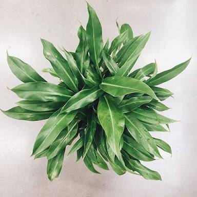 Philodendron 'Little Phil' (Image: http://www.imgrum.org/user/polly_and_the_wren/2899756461)