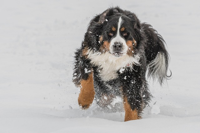 bernese-mountain-dog-3202019_640.jpg