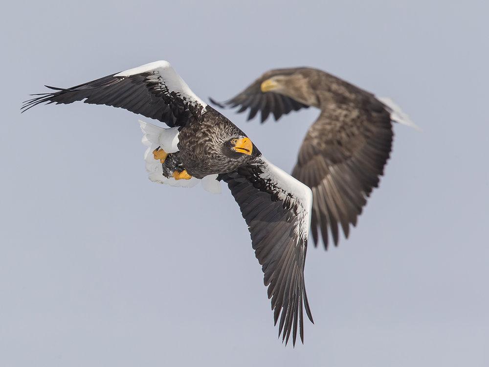 Riesenseeadler_Japan_Marcel Burkhardt_1.jpg