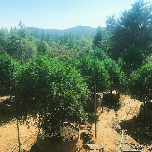 Mindful Canna babies are now in their teens. Looking majestic among the Forrest trees. Always sustainable practices always clean green always organic means.  Looking forward to giving these beauties a puff. #green #weed #bayarea #la #organic #green #cannabis #hightimes #sourdiesel #kush #nug #love #garden #soil #dabs