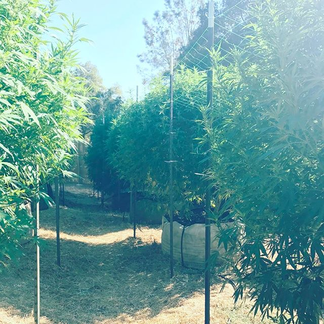 Beauties #weed #summer #pictureoftheday #california #yes #420