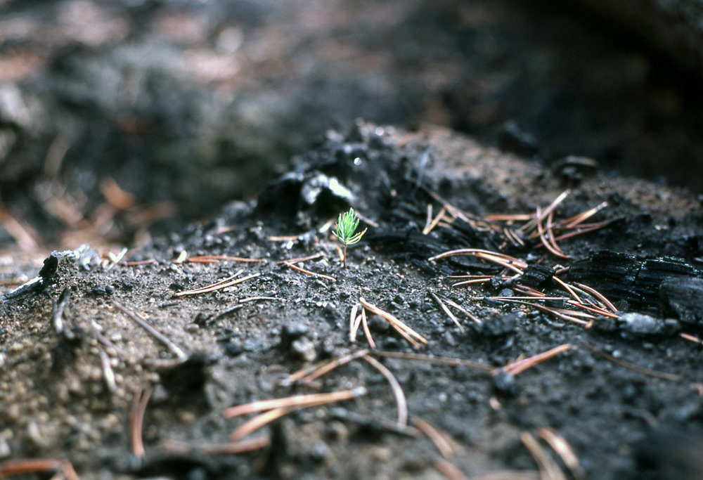 Yellowstone fire seedling.jpg