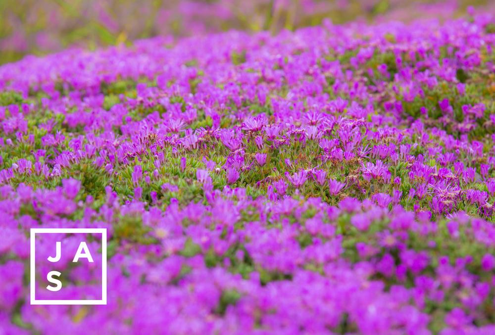 """""""Purple Fields"""""""