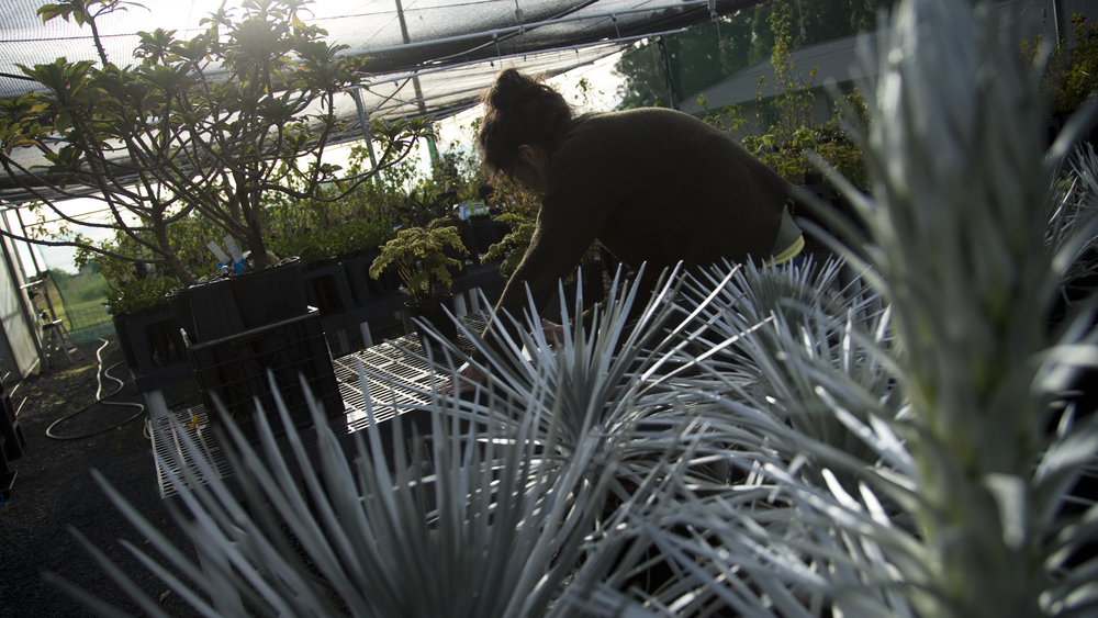 2013, East Maui Volcano, Haleakala, artist residency at the summit district.Drawing rare and endemic species, Haleakala government greenhouse for propagation, elev. 9740 ft.