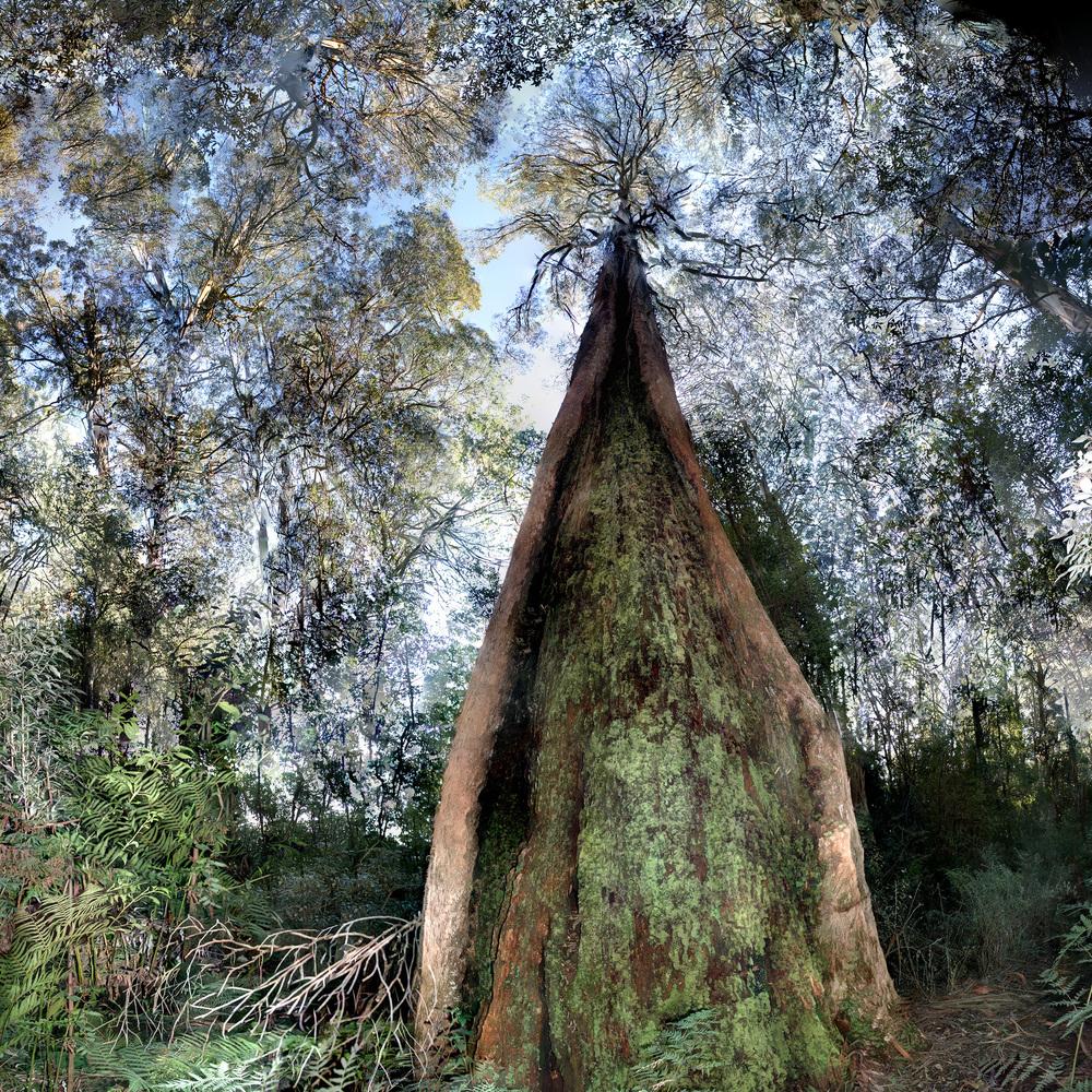 Canoe Tree - WU30