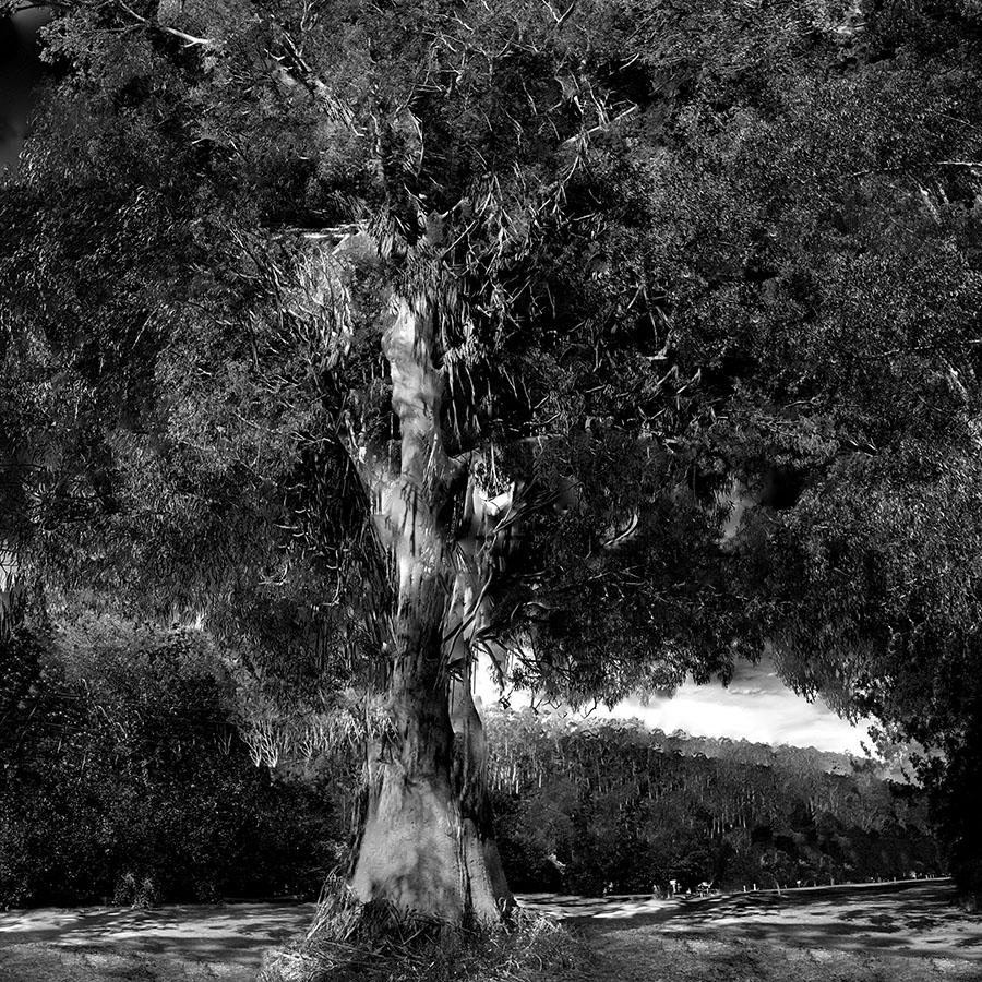 Gum Tree Warburton