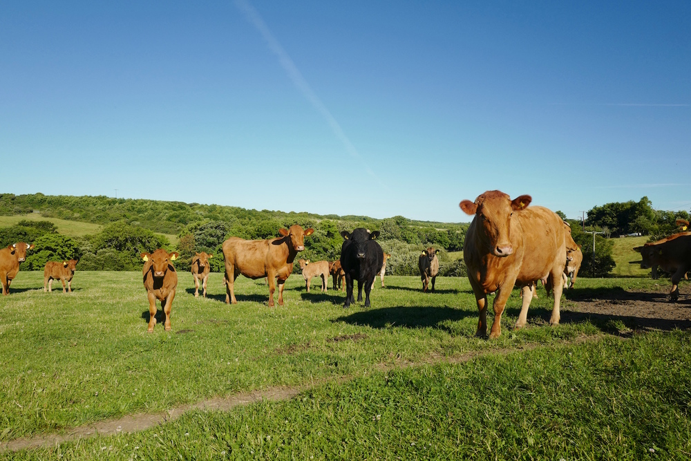 Our South Devon cattle
