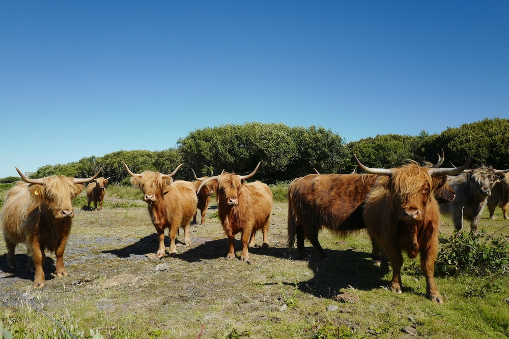 Trerise Farms rare highland cattle