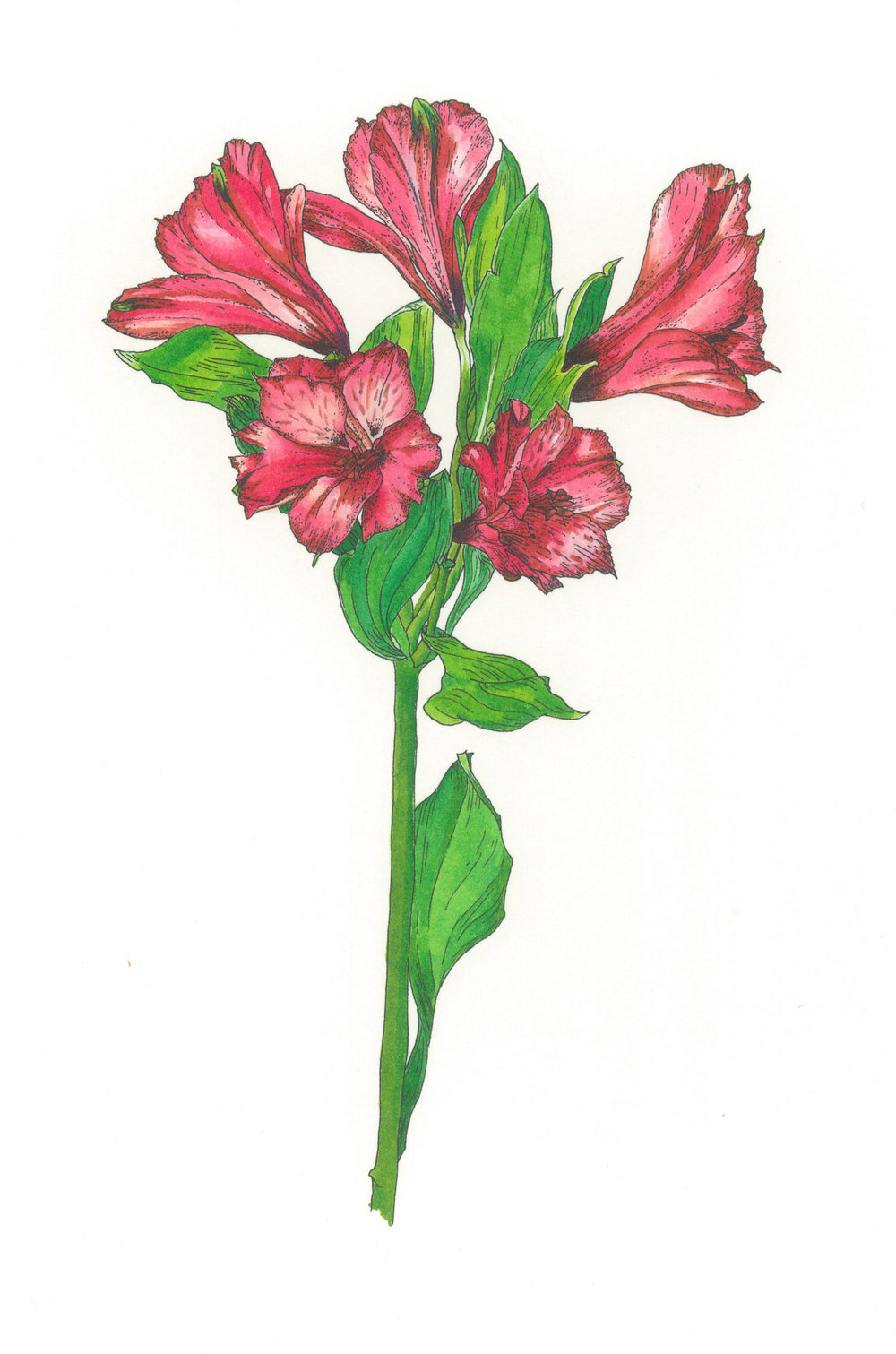 Alstroemeria  Available as a giclee print