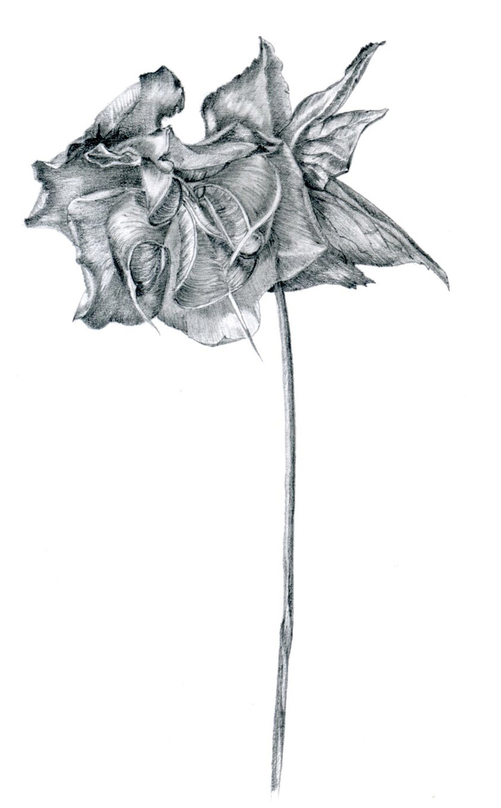 Dried Hellebore Niger / Christmas Rose