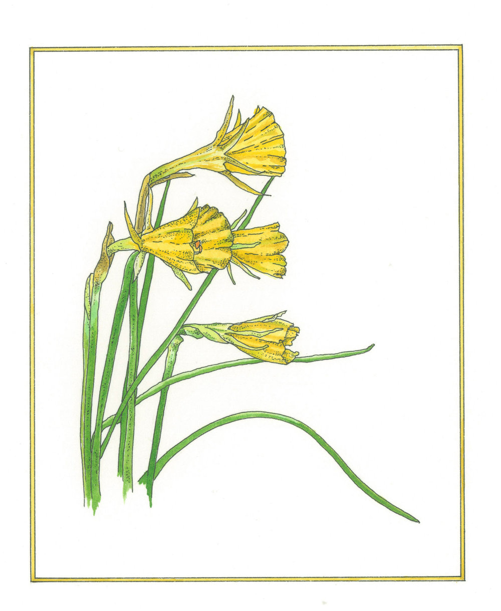 Petticoat Daffodils Available as a giclee print