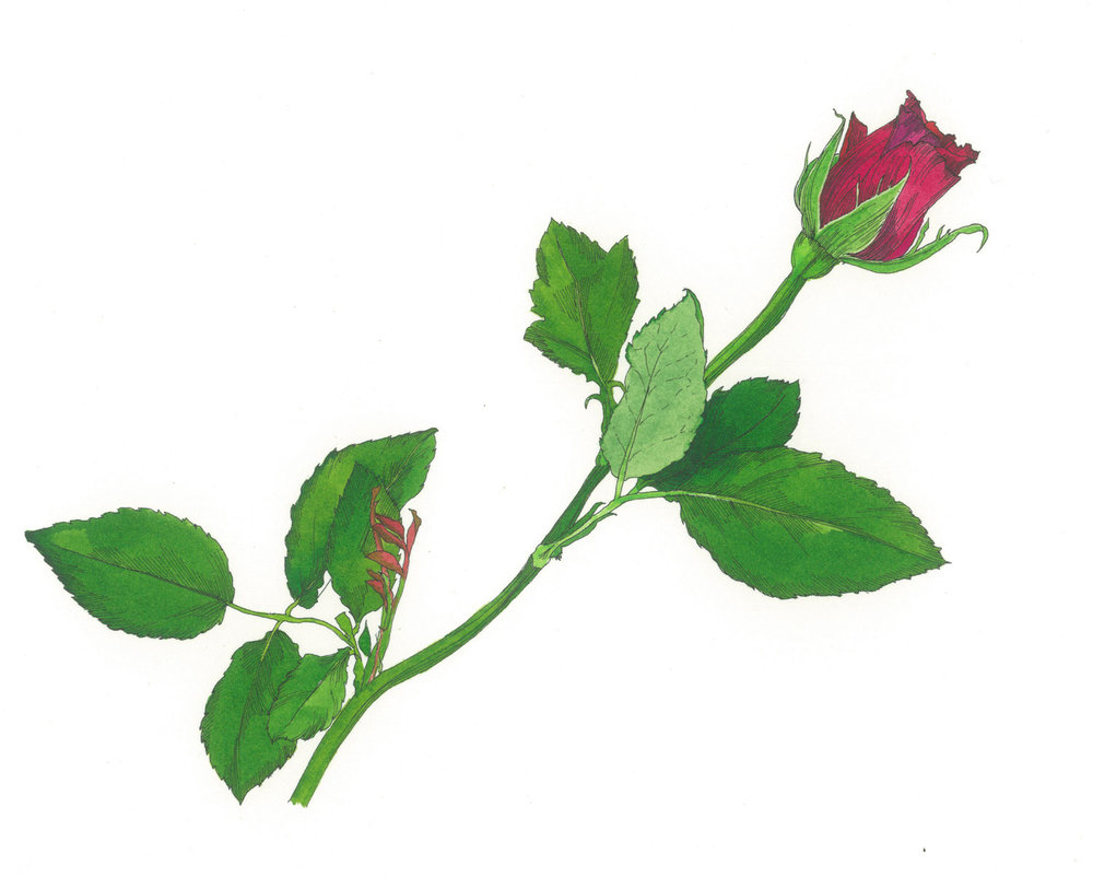 Single Red Rose Available as a giclee print