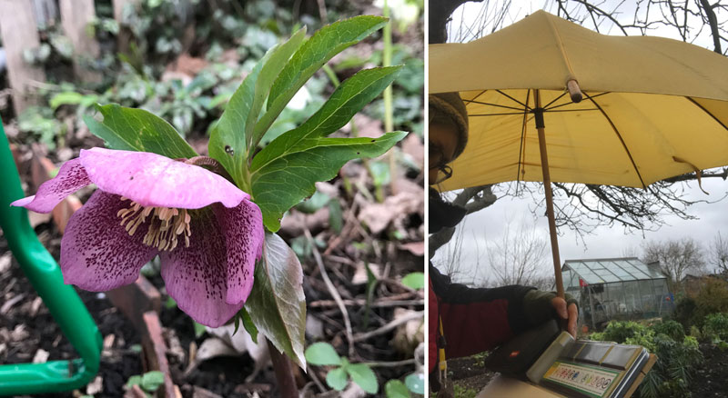 Beautiful hellebore and rain doesn't stop play!