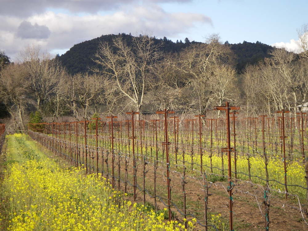 Fitch Mt.- view from SW, wild mustard and vineyard, SWMartin.jpg