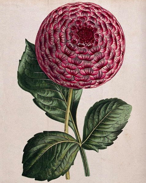 Dahlia Chromolithograph, c. 1870, Hibberd, Shirley after H. Briscoe Wellcome Library no. 26138i  Credit: Wellcome Collection