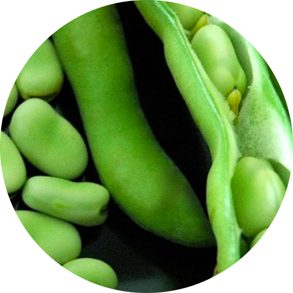 fava1.png