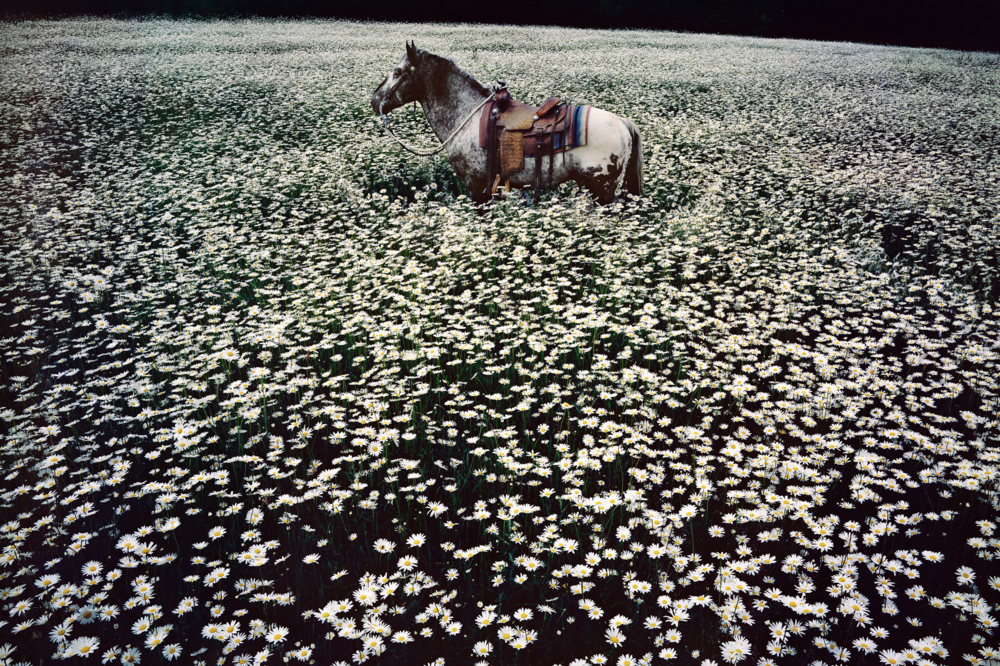 Linda McCartney. Lucky Spot in Daisy Field, Sussex, 1985. C-Type. Edition of 6 and 2 APs