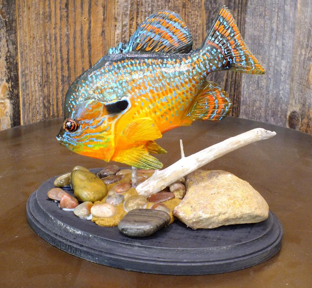 Special $250.00  7 inch Longear sunfish