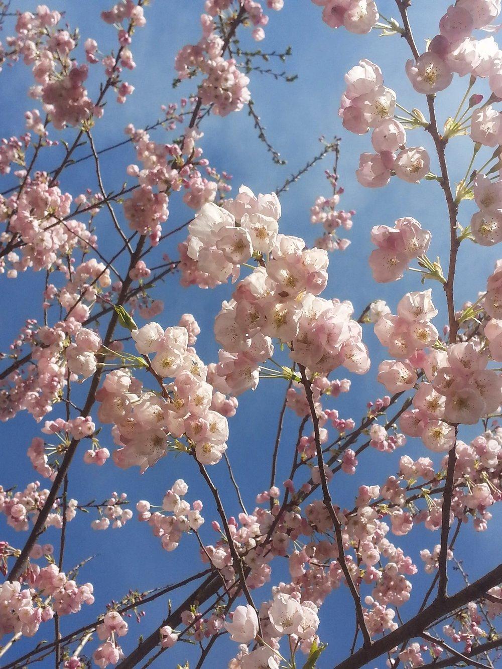 cherryblossoms1.jpg