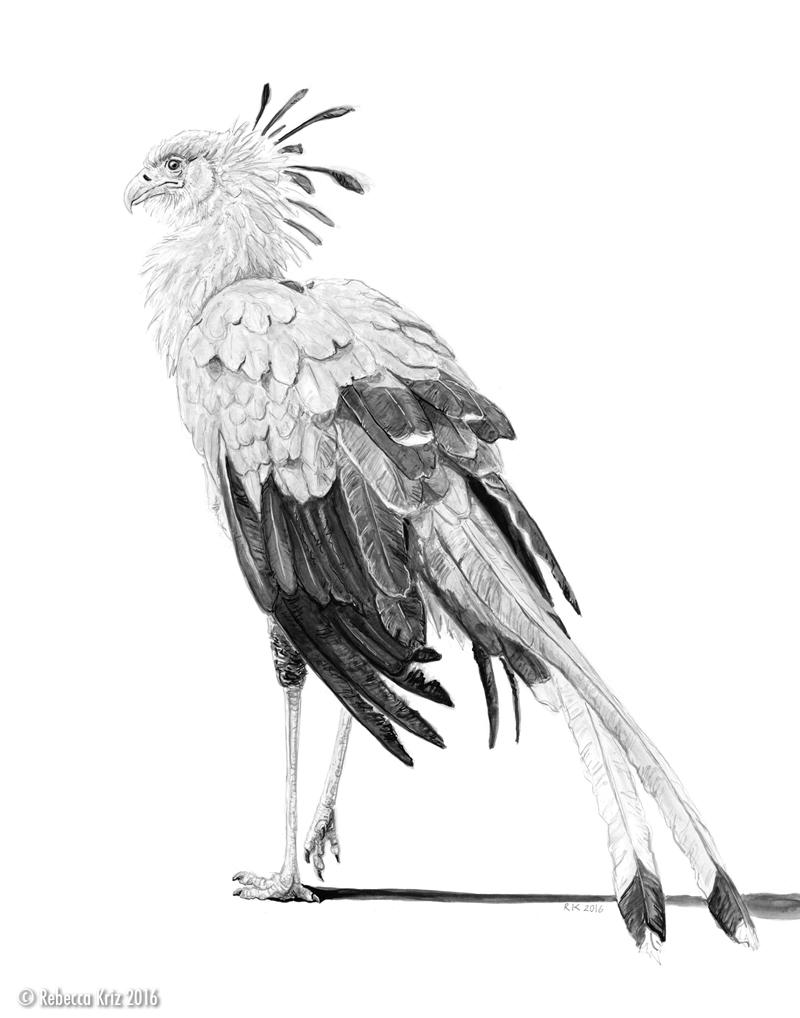 Secretary Bird   ink, graphite 2016