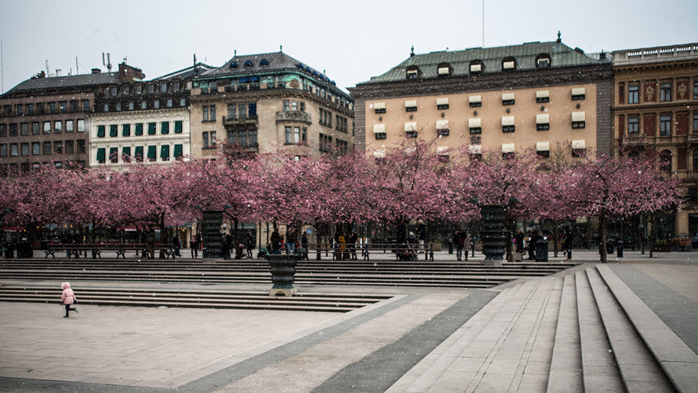 Kungsträdgården in cherry blossom season