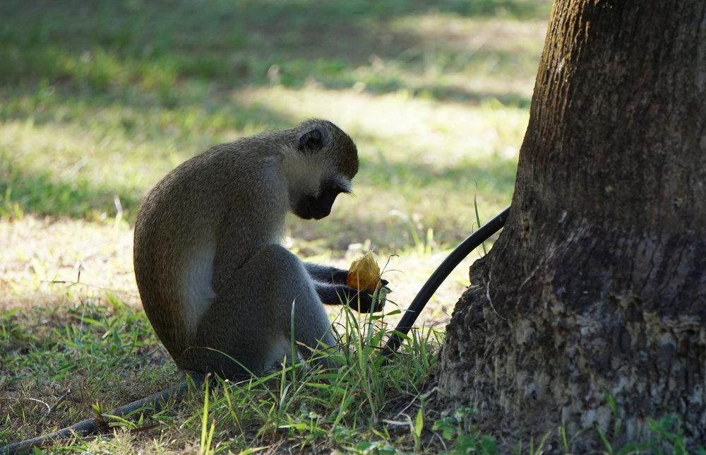 Monkey Dinner 1
