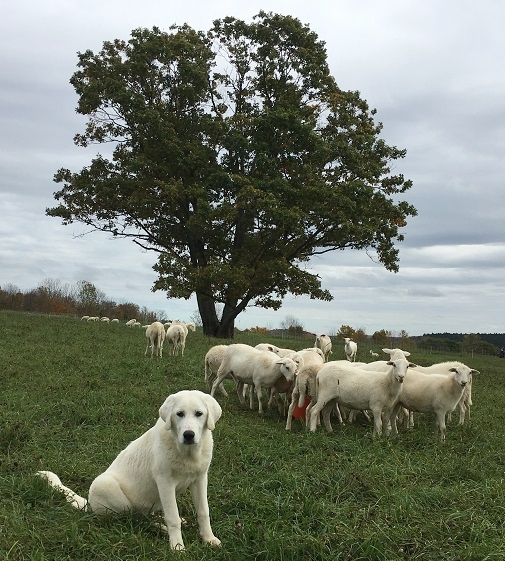 lamb_pastured.jpg