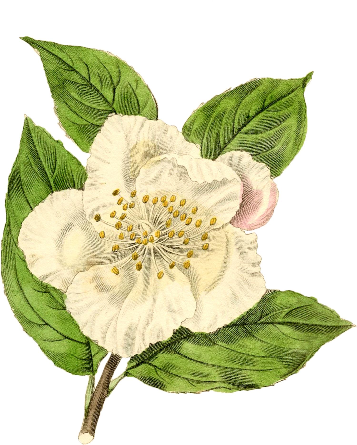 An informed death vintage white flower graphic graphicsfairyg an informed death mightylinksfo