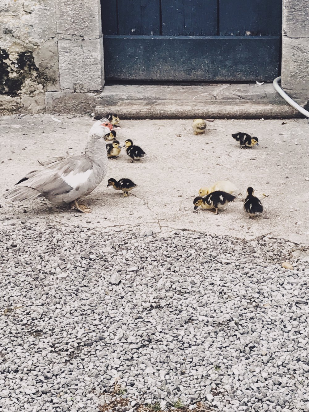 They had 22 ducklings, it was bliss