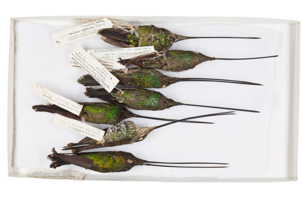 "sword-billed hummingbirds 1   8"" x 12"" or 12"" x 18""  2007"