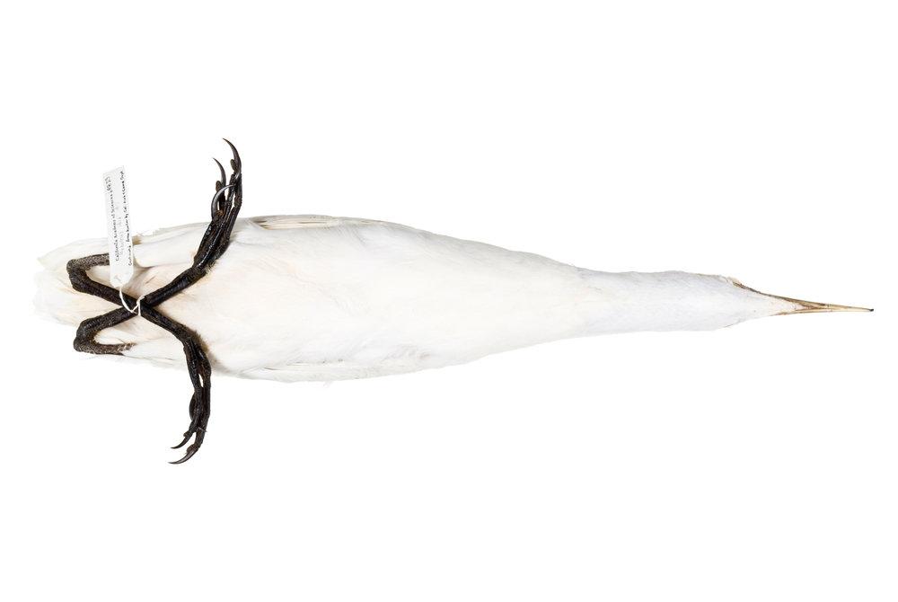"""snowy egret 1   8"""" x 12"""" or 12"""" x 18""""  2007"""