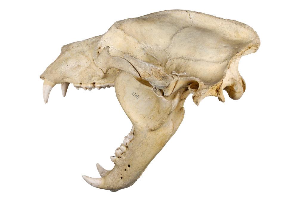 "bear skull 1   8"" x 12"" or 12"" x 18""  2007"